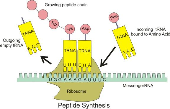 1 Description English Illustration Of TRNA Building Peptide Chain Date March 2009 Source Own Work Author Boumphreyfr CC